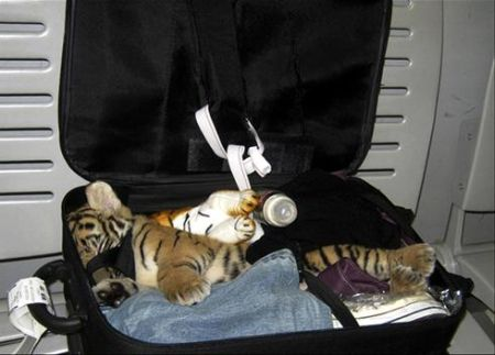 Okay, I probably won't stuff a tiger cub into my luggage, but it's still going to be tight.